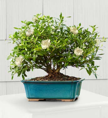 Gardenia Bonsai 8-Year Specimen