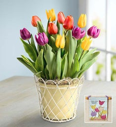 Colorful Tulips + Free Banner