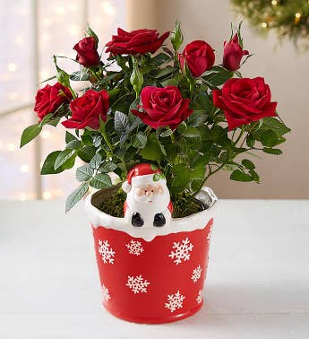 Santas Merry Red Rose Plant