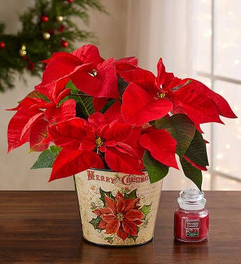 Holiday Traditions Poinsettia