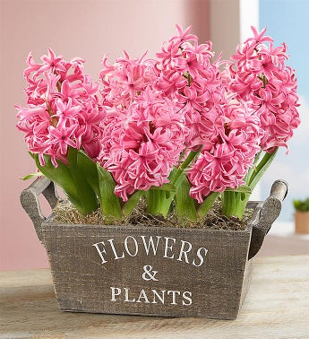Heavenly Hyacinth Bulbs