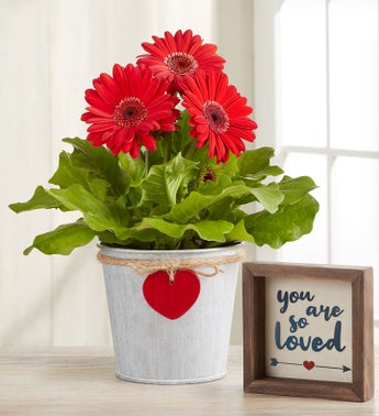 Hearts in Bloom Garden Gerbera