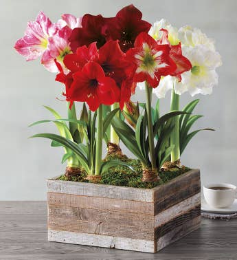 Grand Amaryllis Centerpiece